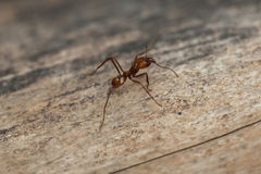 Leafcutter ant (Atta sexdens). Wildlife animal royalty free stock photography