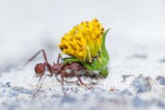 Leafcutter ant with a heavy load. Macro of a red leafcutter ant carrying a heavy yellow flower bud stock photo