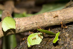 Leafcutter ants Royalty Free Stock Photography