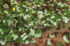 Leafcutter ants (Atta sexdens). Royalty Free Stock Photos