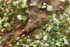 Leafcutter ants (Atta sexdens). Wild life animal stock photos