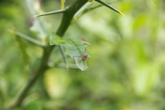 Leafcutter ants on leaf with fresh chunks removed Royalty Free Stock Photos