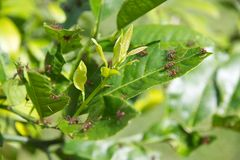 Leafcutter ants on leaves with fresh chunks removed Royalty Free Stock Photo