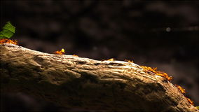 Leafcutter ants marching across a tree branch. stock footage