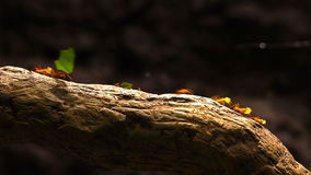 Leafcutter ants marching across a tree branch. stock video