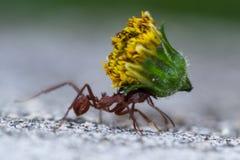 Leafcutter mrówka z ciężkim ładunkiem Zdjęcie Stock