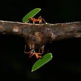 Leafcutter myror Arkivfoto