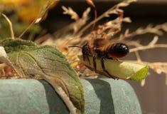 Leafcutterbij. stock fotografie