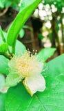 Leafe di verde del fiore della guaiava fotografia stock libera da diritti