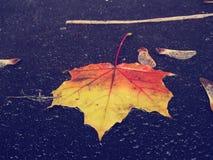 Leafe molhado do bordo na terra fotografia de stock