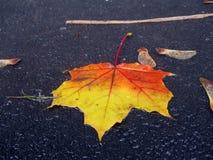 Leafe molhado do bordo na terra Imagens de Stock Royalty Free