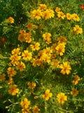 Leafed narigolds Obraz Royalty Free
