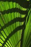 leafen gömma i handflatan skuggor Royaltyfri Bild