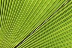 leafen gömma i handflatan tropiskt Abstrakt naturlig textur, exotisk geometrisk grön bakgrund Royaltyfri Bild