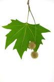 leafen kärnar ur sycamoren Arkivfoto