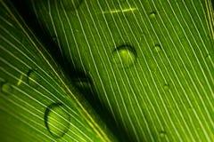 Leafen med regnar tappar royaltyfria bilder
