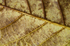 Leafen med regnar tappar Arkivbilder