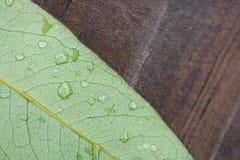 Leafen med regnar tappar Arkivbild
