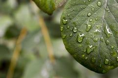 Leafen med tappar Fotografering för Bildbyråer