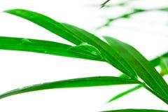 Leafen med tappar av bevattnar Royaltyfria Foton