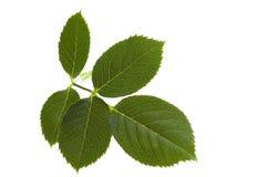 leafen steg Fotografering för Bildbyråer