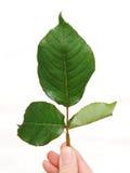 leafen steg Royaltyfri Foto