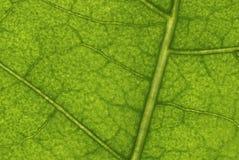 Leafen strukturerar Royaltyfria Foton