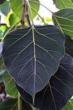 Leafen texturerar gräsplan Royaltyfria Bilder