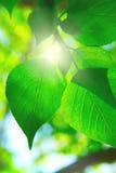 leafes зеленого цвета дня ветви солнечные Стоковые Изображения