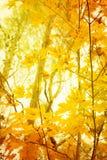 Leafes alaranjados e amarelos Foto de Stock Royalty Free