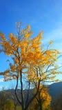 Leafes amarillos del árbol del otoño Imágenes de archivo libres de regalías