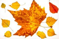 Leafes coloridos aislados en un lightbox - 11 del otoño Fotografía de archivo libre de regalías