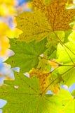 Leafes de Autum Fotografía de archivo libre de regalías