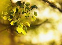 Leafes de bouleau au soleil Photographie stock libre de droits