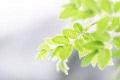 Leafes de cynorrhodon Photo libre de droits