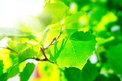 Leafes del arce en el verano Sun Fotografía de archivo