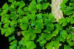 Leafes del biloba del Ginkgo en un árbol Fotos de archivo
