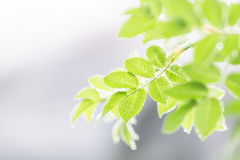 Leafes del cinorrodo Fotografia Stock Libera da Diritti