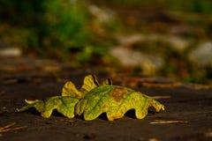 Leafes del roble Imagen de archivo