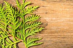 Leafes del Thuja en la madera vieja Imágenes de archivo libres de regalías