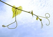Leafes dell'uva Fotografia Stock