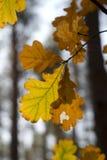 leafestreeyellow Royaltyfria Bilder