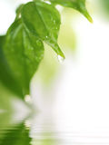 leaffjäder arkivfoton