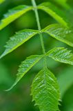 leaffjäder Arkivbilder