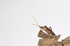 Leaffooted bug on tree bark Royalty Free Stock Photos