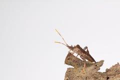 Leaffooted pluskwa na drzewnej barkentynie Zdjęcia Royalty Free