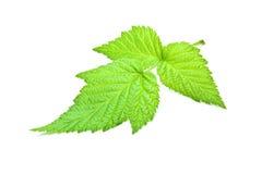 leafhallon Royaltyfria Foton