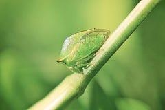 Leafhopper буйвола Стоковое фото RF