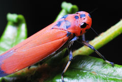 Leafhopper Stock Foto