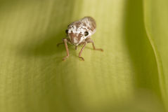 Leafhopper Royalty Free Stock Photos